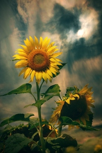 flower-nature-photography-sunflower-Favim.com-443247