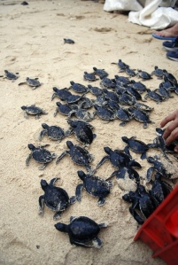 Freedom Awaits…. Baby-turtles-beach-fashion-favim-com-762523