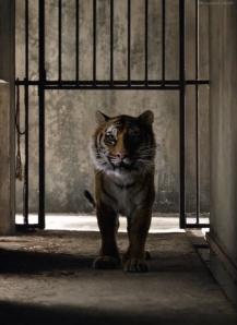 Are We Ready? Animal-aww-big-cat-big-cats-favim-com-1677765
