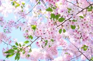 beauty-cherry-flowers-lavender-Favim.com-520607
